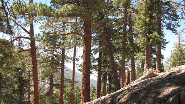 Pines on the South Fork Trail, San Bernardino National Forest, CA