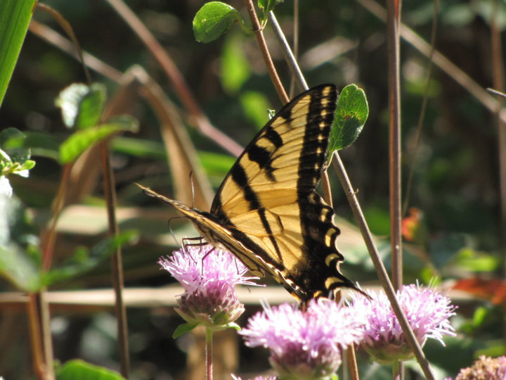 Butterfly in Santa Ynez Canyon