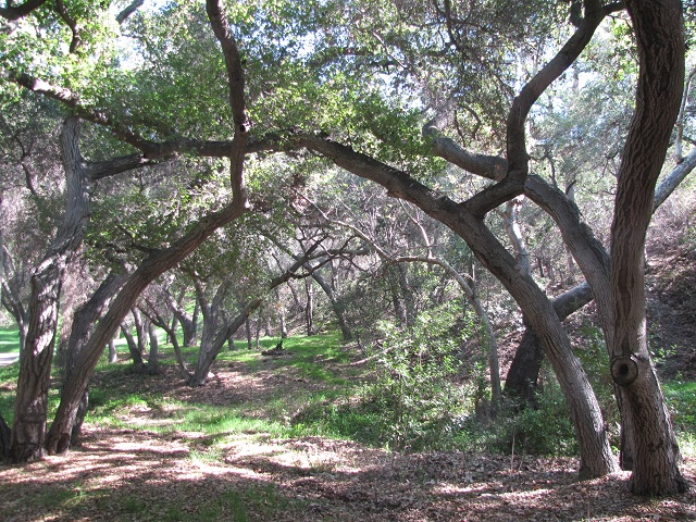 Oaks in Engleheard Canyon, Verdugo Mountains, Burbank, CA