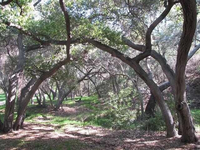 Oaks in Engleheard Canyon, Verdugo Mountains, Burbank, CA