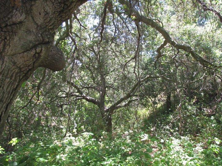 Live Oak Trail, O'Neill Regional Park