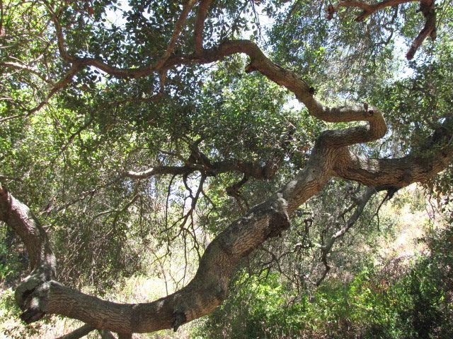 Oaks on the Spaulding Trail, O'Neill Regional Park
