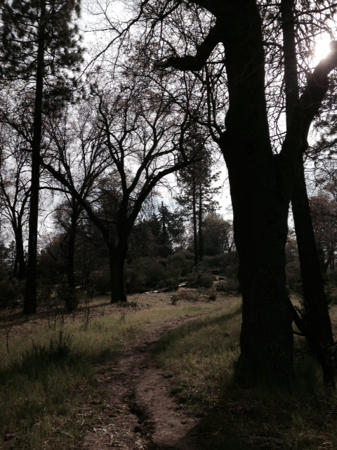 Black oaks on the Metate Trail
