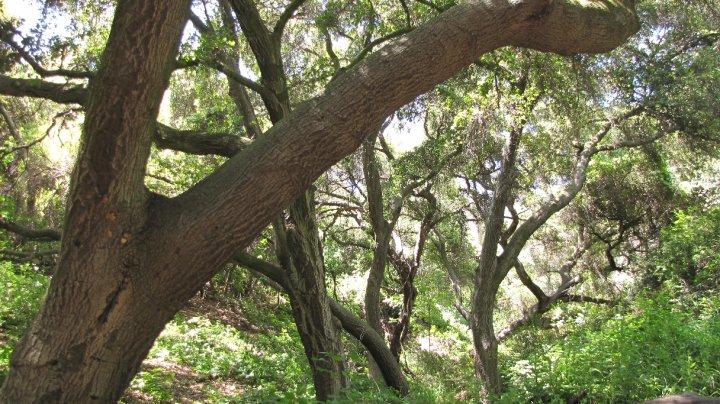 Oaks in Marshall Canyon