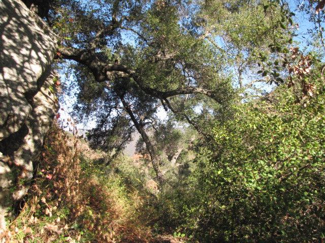 Oaks on the Tenaja Trail