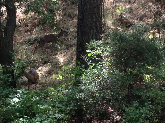 Deer in Marshall Canyon