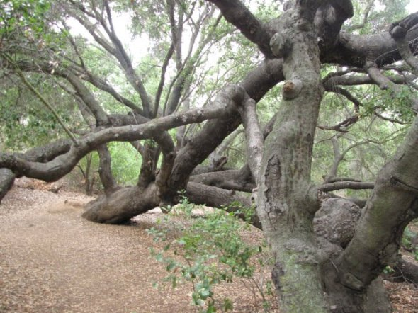 One gnarled oak in Oak Canyon Park