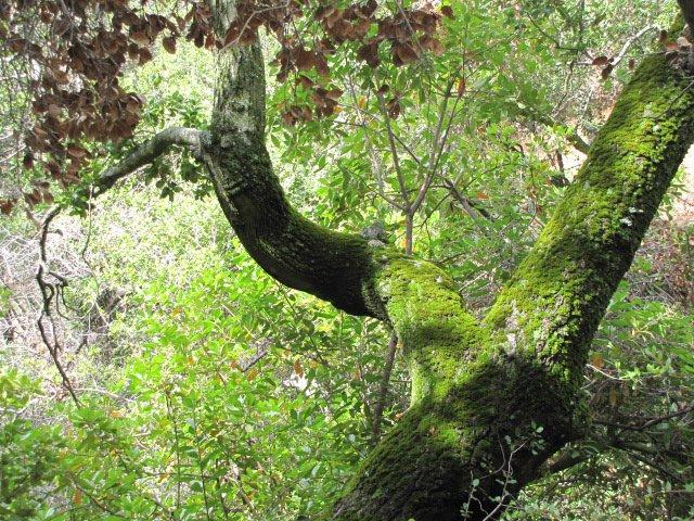 Mossy oak on the Viejo Tie Trail
