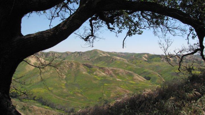 Live oak, Skully Ridge, Chino Hills State Park
