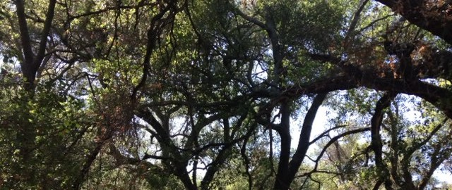 Live oaks on the Bear Canyon Trail, Santa Ana Mountains, CA