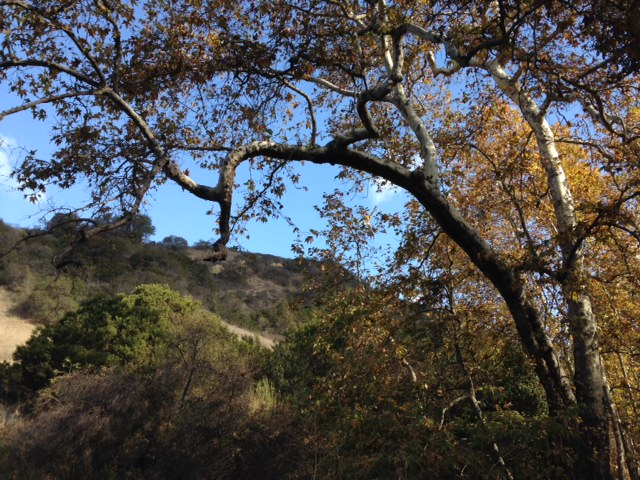 Sycamores in Turnbull Canyon