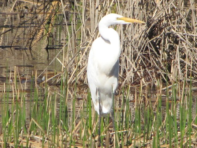 Egret in Madrona Marsh