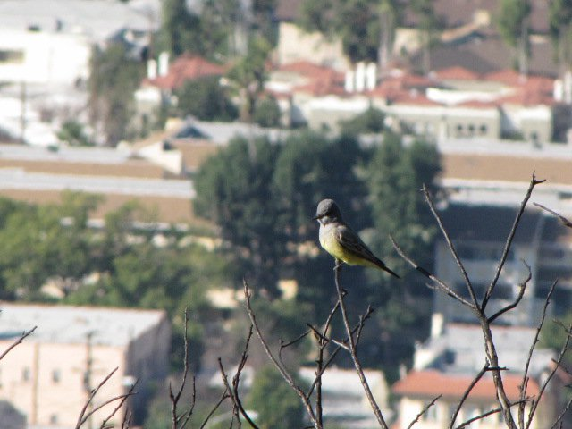 Goldfinch on the Valle Vista Fire Road