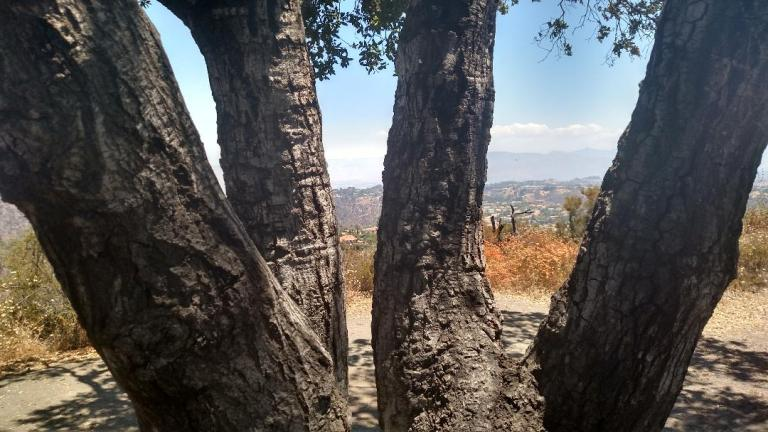 Prajna Tree, Tigertail Trail, Los Angeles