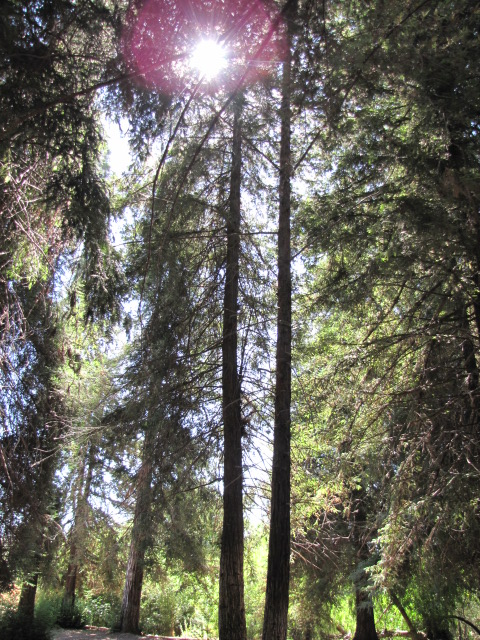 Redwood grove in Carbon Canyon Park