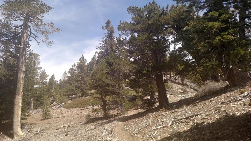 Trail to Mt. Burnham, Angeles National Forest