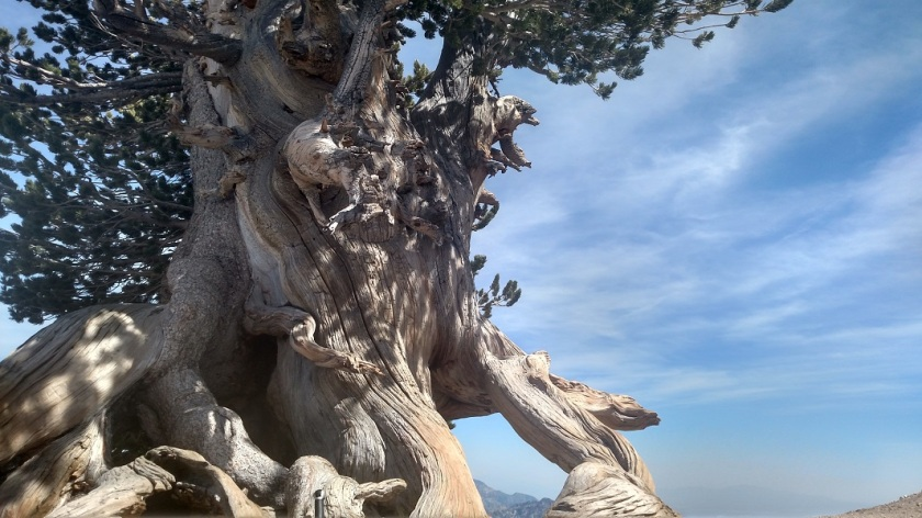 Wally Waldron Tree, Angeles National Forest