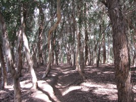 Eucalyptus grove in Serrano Creek Park