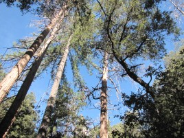 Pines on the Fry Creek Trail