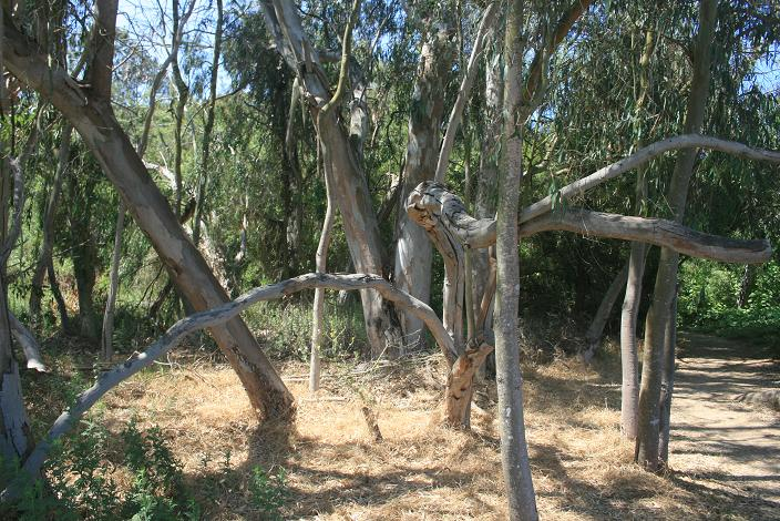 Eucalyptus grove on the La Orilla Trail near El Camino Real
