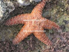0066 Gold starfish