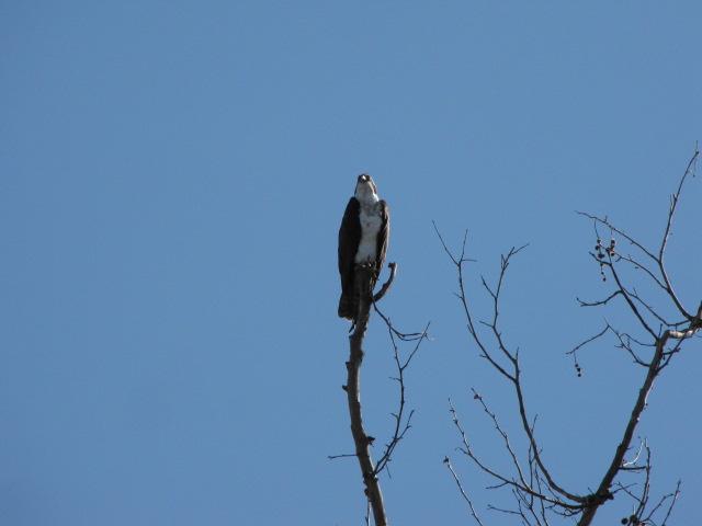 Avian resident of Bonelli Regional Park