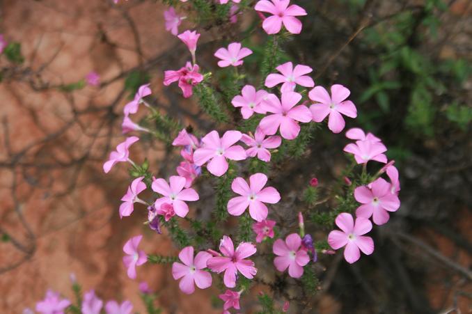 Wildflowers on the Mesa Peak Motorway