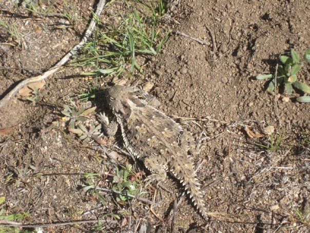 Horned lizard on the Morgan Trail