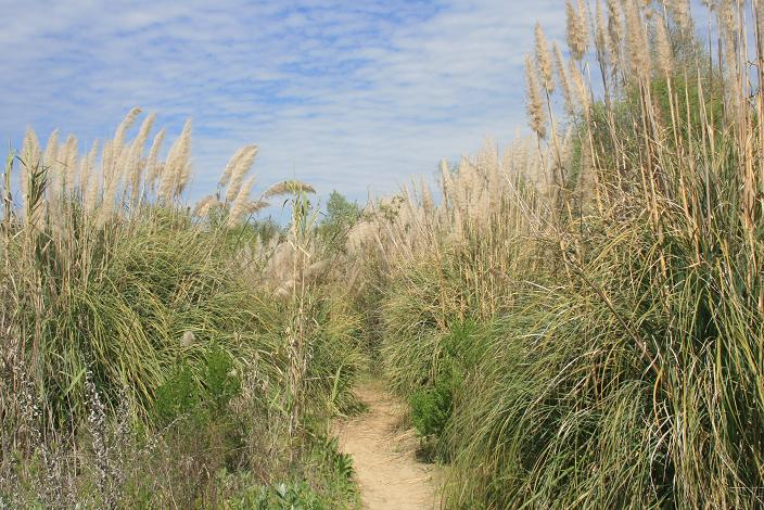 Cat tails on the Arroyo Trabuco Trail