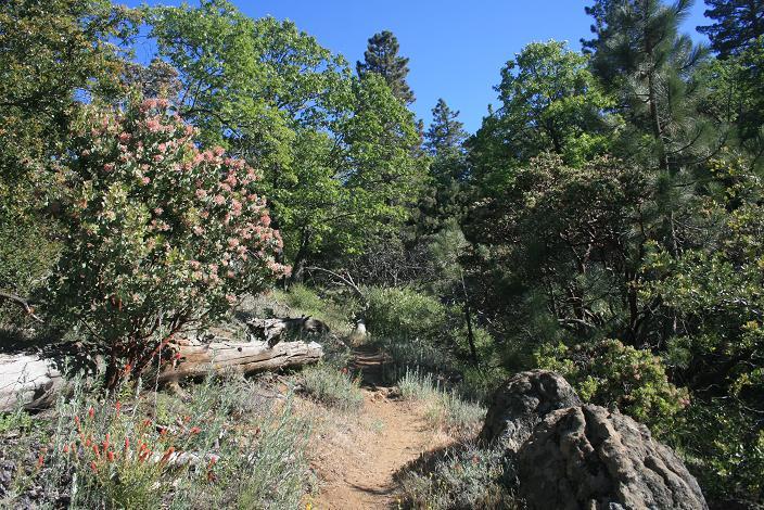 Pines and manzanitas near Cahuilla Mountain's summit