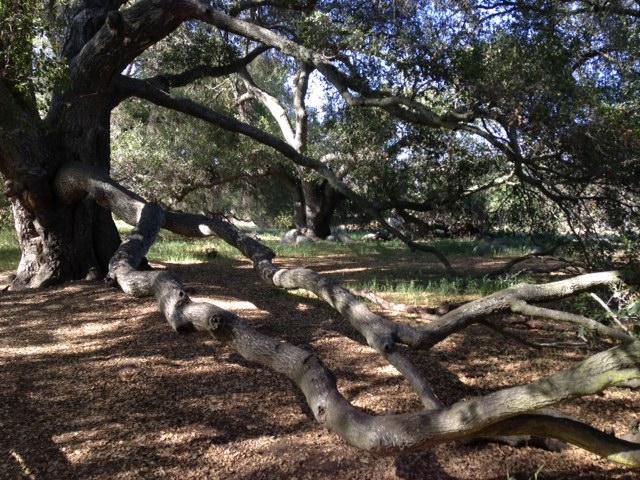 Huge oak on the Granite Trail