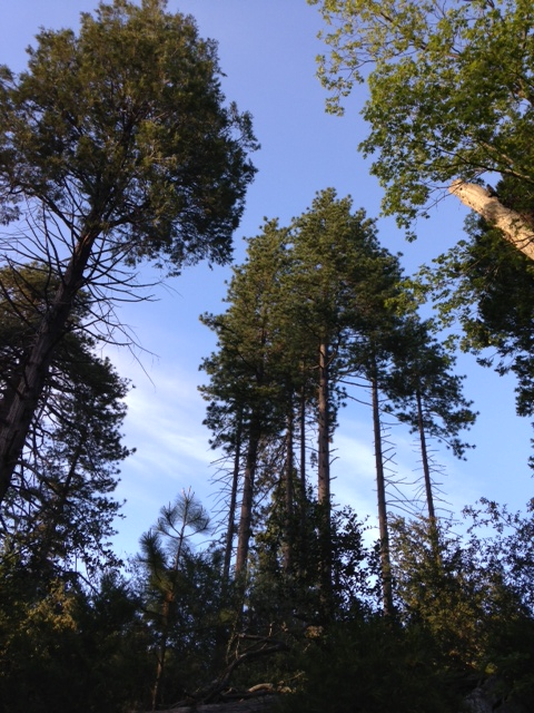 Ponderosa Pines on the Doane Nature Trail