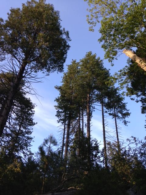 Ponderosa Pines on the Doane Nature Trail