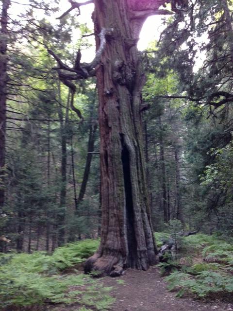 Incense Cedar tree on the Doane Nature Trail