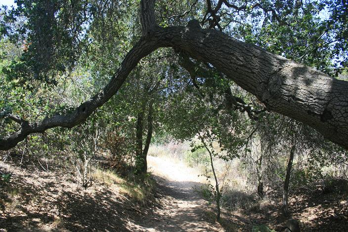 Oak tree on the Los Robles Trail near Triunfo Community Park