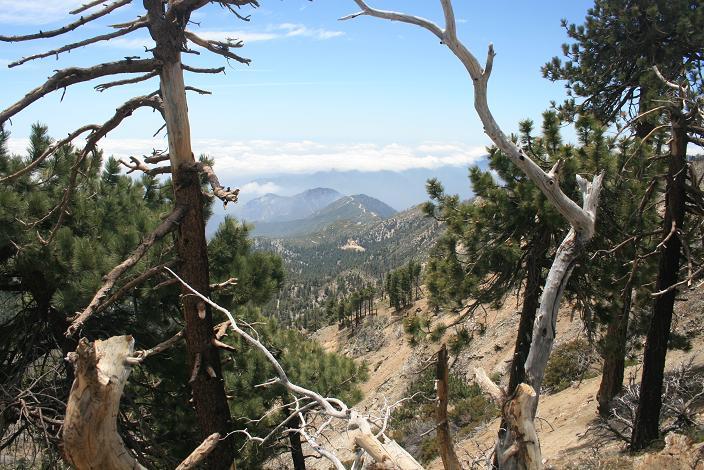 Trees near the summit of Mt. Islip