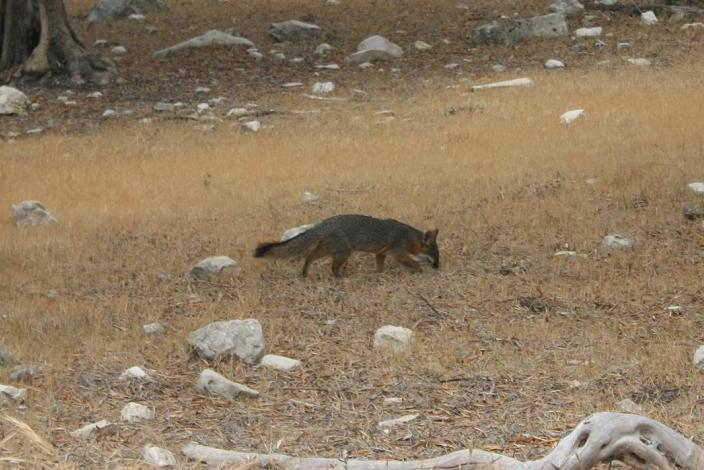 Native Channel Islands Fox near Smuggler's Cove