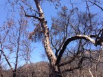 0:11 - Burned sycamore at the bottom of Serrano Canyon (times are approximate)