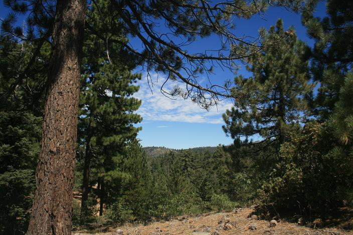 Pines on the Exploration Trail