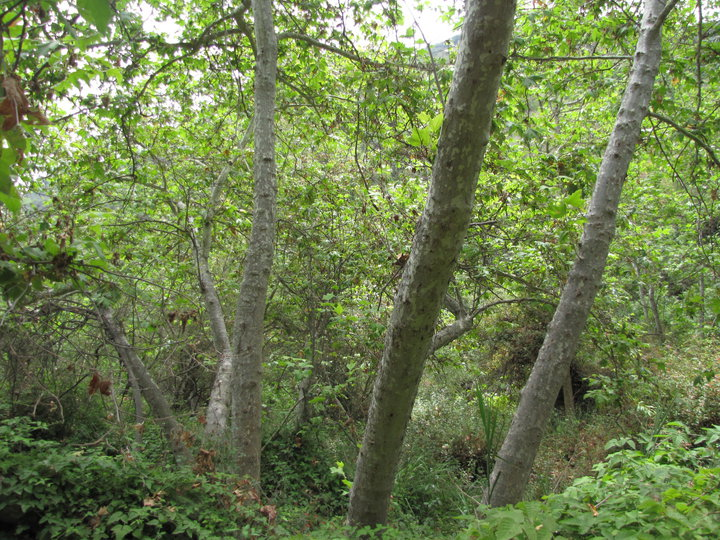 Sycamores in the bottom of Temescal Canyon