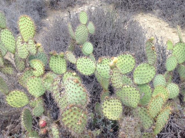 Prickly pear in Camarillo Grove Park