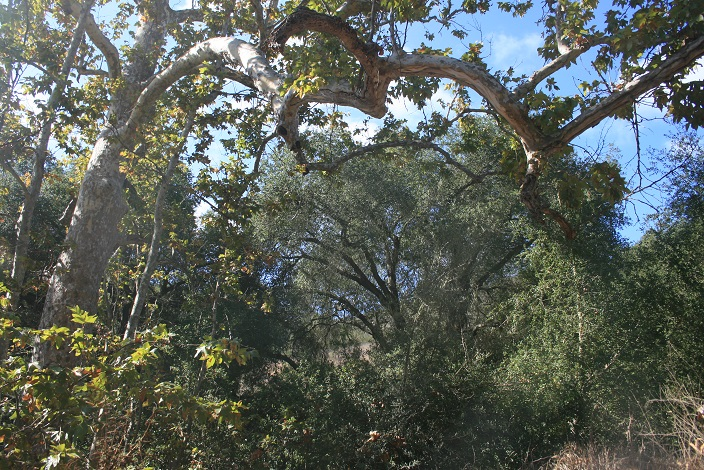 Sycamores in upper Laurel Canyon