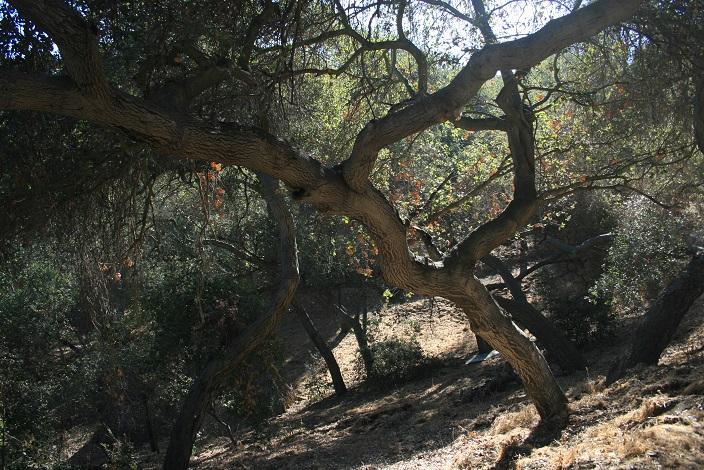 Oaks on the Schabarum Trail
