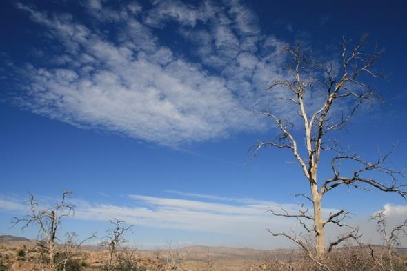 Burnt Pinyon Pine on the trail to Chaparossa Peak