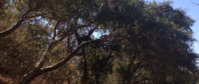 Oaks in Debs Park