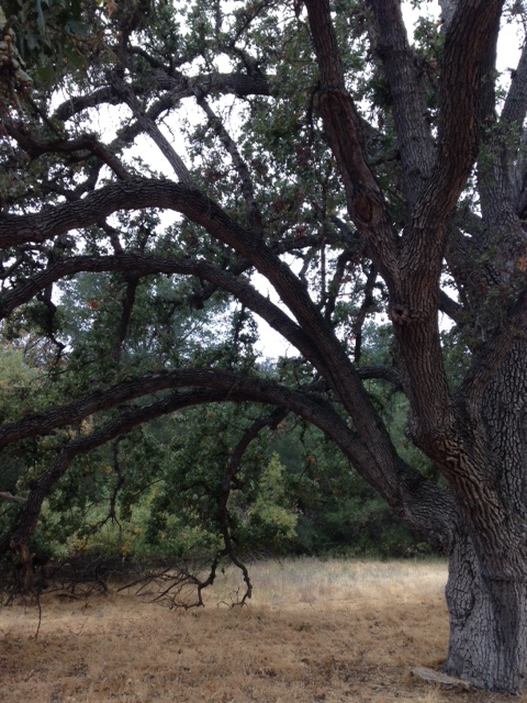 Live oak, Liberty Canyon Nature Preserve