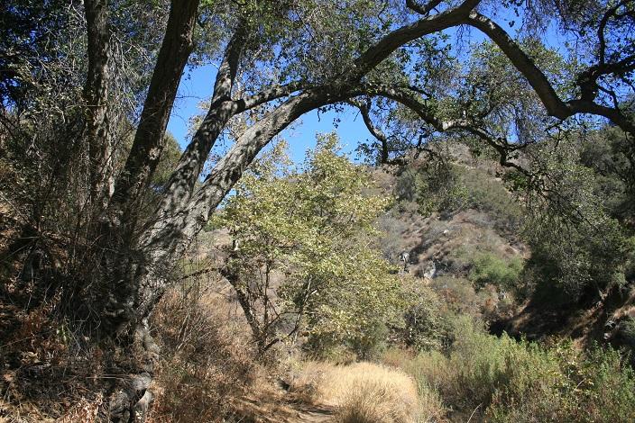 Oaks on the Lower Monroe Truck Trail