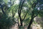 1:10 - Oaks in a tributary canyon on the eastern trail