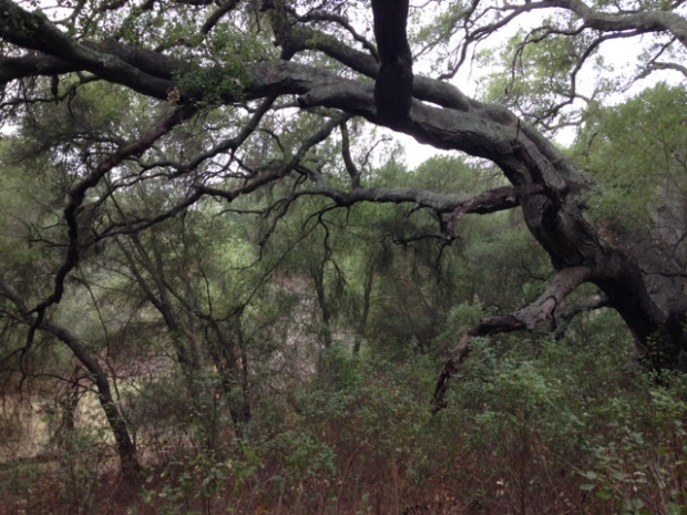 Live oaks in Daley Ranch on the Bobcat Trail