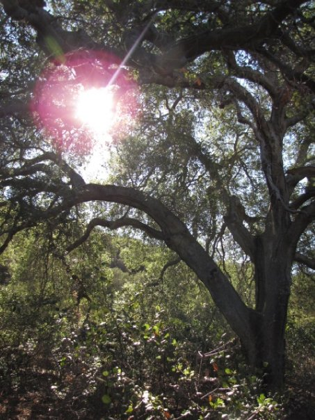 Sunlight through the oaks, San Mateo Canyon